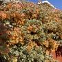 Bougainvillea Orange Bracts
