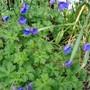 Geranium 'Johnson's Blue'