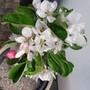Dsc00341_2_apple_blossom