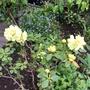 Rhododendron Lemon Dream. (Rhododendron)