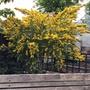 Canary Broom.