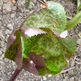 New leaf on Helleborus Penny's Pink (Helleborous 'Penny's Pink')