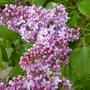 Lilac in springtime (Syringa vulgaris (Common lilac))