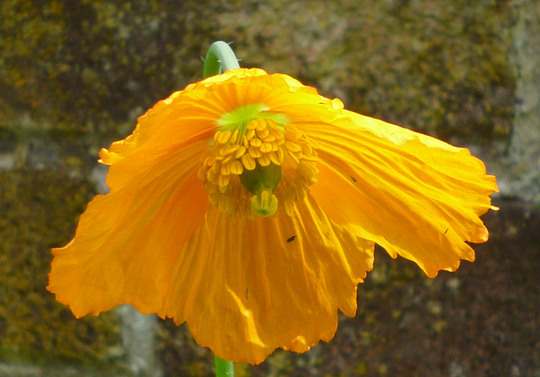 Papaver cambrica (Meconopsis cambrica (Double Welsh Poppy))