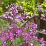 Thalictrum delavayi (Thalictrum delavayi (Meadow rue))