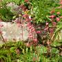Old Heuchera (Heuchera sanguinea (Coral Bells))