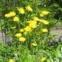 Doronicum orientale (Doronicum orientale)