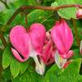 Old fashioned Bleeding Heart. (Dicentra eximia (Bleeding Heart))