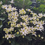 Clematis evergreen early sensation/avalanche  (Clematis)