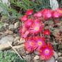 Delospermum Garnet (Delospermum cooperi)