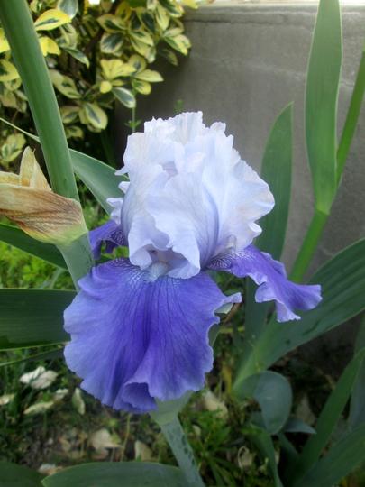 Iris - October Sky