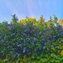 Ceanothus burkwoodii (California lilac)