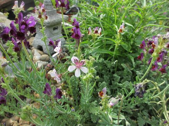 Alpine Erodium (Erodium cheilanthifolium)