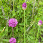 Allium Purple Sensation (Allium 'purple sensation')