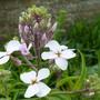 Hesperanthus_matronalis