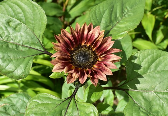 Sunflower 'Jammie Dodger' (Helianthus annuus (Sunflower))