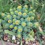 Rhodiola in full flower. (Rhodiola rosea (Kingscrown))