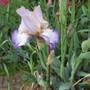 Tall Bearded Iris 18A (For my File) (Iris germanica (Orris))