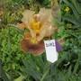 Bearded Iris 21H2 (Bearded Iris)
