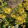 Rhododendron luteum.