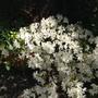 White azalea growing in a pot.