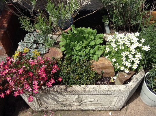 A trough of alpines, planted a few weeks ago.