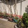 tomato plants out