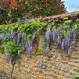 Wisteria winding along the wall.
