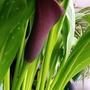 Zantedeschia 'Calla Lily' Spathe in kitchen 14th May 2021 (Zantedeschia)