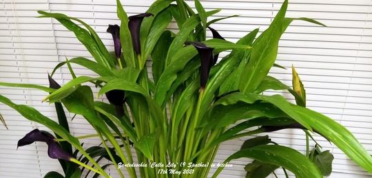 Zantedeschia 'Calla Lily' Spathes in kitchen 17th May 2021 (Zantedeschia)