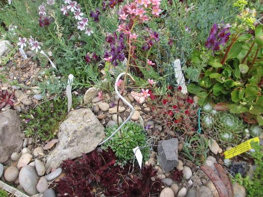 Saxifraga Hare Knoll Beauty (For my File) (Saxifraga)