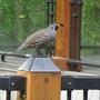 Papa California quail