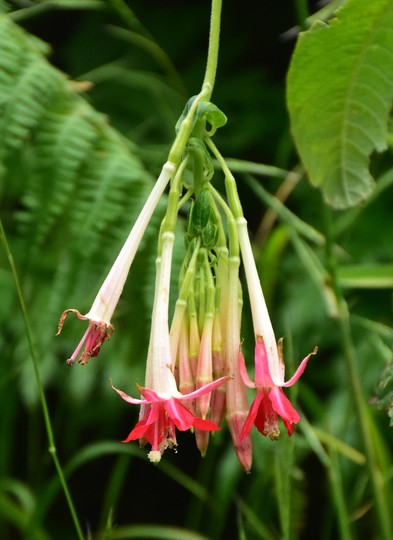 Fuchsia boliviana alba (Fuchsia boliviana alba)
