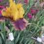 Tall Bearded Iris 2020A75 (For my File) (Bearded iris)
