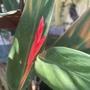 Stromanthe Flower