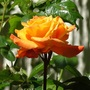 """Rose """"New year"""""""