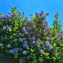 Ceanthous captured in the Sunday sunshine. (Ceanothus burkwoodii (California lilac))