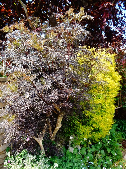 Sambucus in leaf for another season.