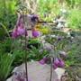 Primula succundiflora (For my File) (Primula secundiflora)