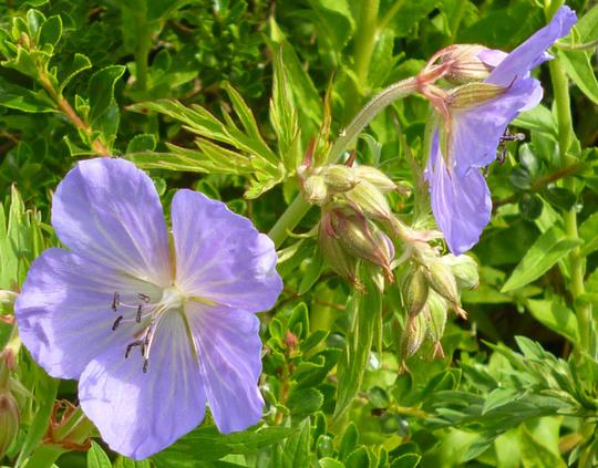 Geranium ex purple haze (Geranium 'Purple Haze')