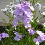 Hesperis matronalis (Hesperis matronalis (Sweet rocket))