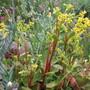 Umbilicus oppositifollium (Update)syn Chiastophyllum (Umbillicus oppositifollium)