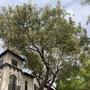 Massive Ficus elastica 'Decora' - Rubber Tree