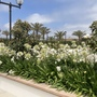 The White Agapanthus Flowering