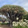 Dracaena draco - Canary Island Dragon Tree