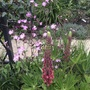 Lupin and campion mix.