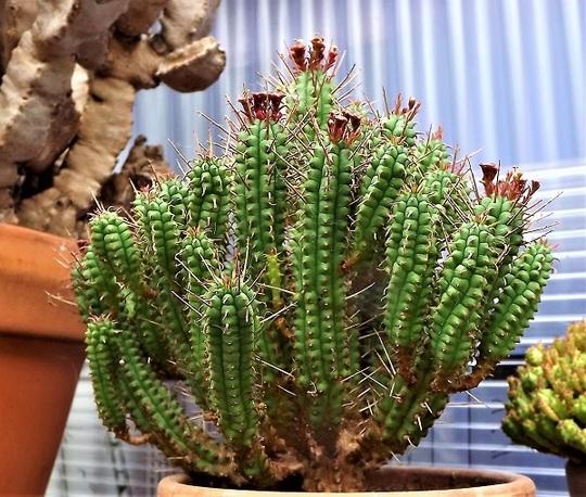 Euphorbia enopla flowering