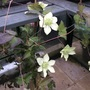 Mislabelled clematis