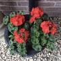 Scarlet pelargoniums