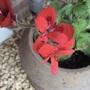 Pelargonium ignescens